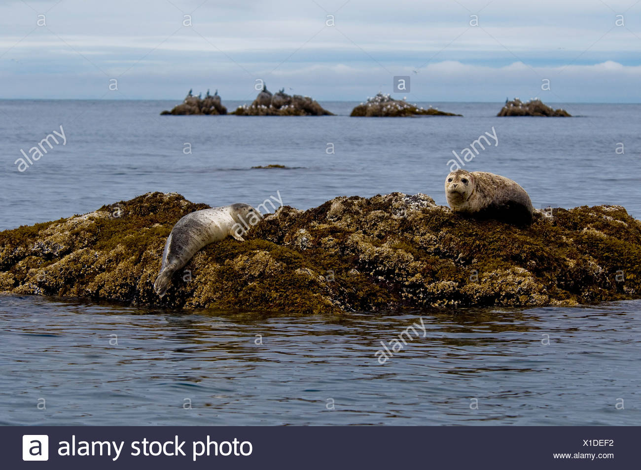 Two Harbor seals rest on a rock off the shore of  Kukak Bay, Katmai National Park, Alaska, Summer Stock Photo