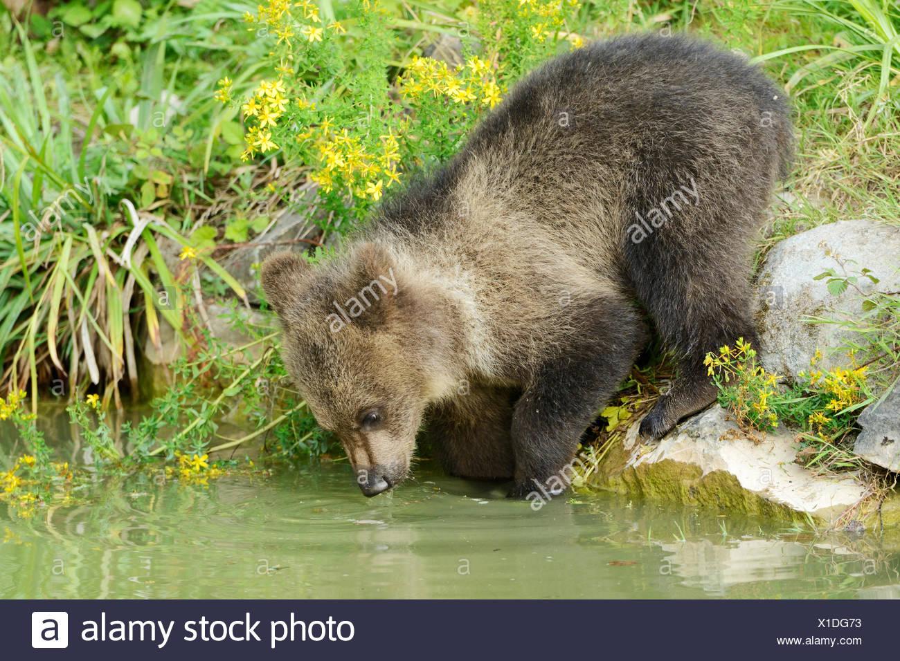 Young Brown Bear (Ursus arctos), drinking, captive, Wildlife Park Langenberg, Langnau am Albis, Canton of Zurich, Switzerland - Stock Image