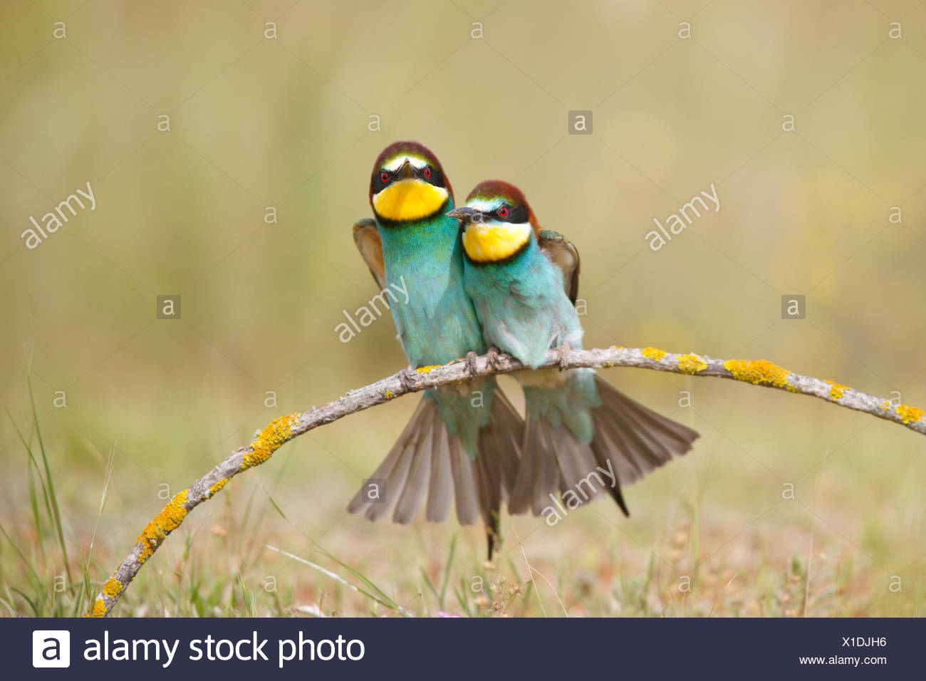 European bee eaters (Merops apiaster) sitting close together on branch. Seville, Spain - Stock Image