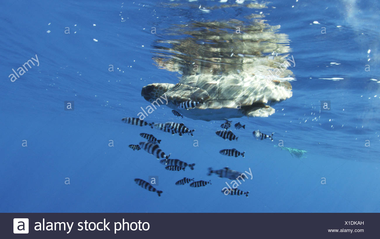 A loggerhead turtle accompanied by pilot fish drifts in a current. - Stock Image
