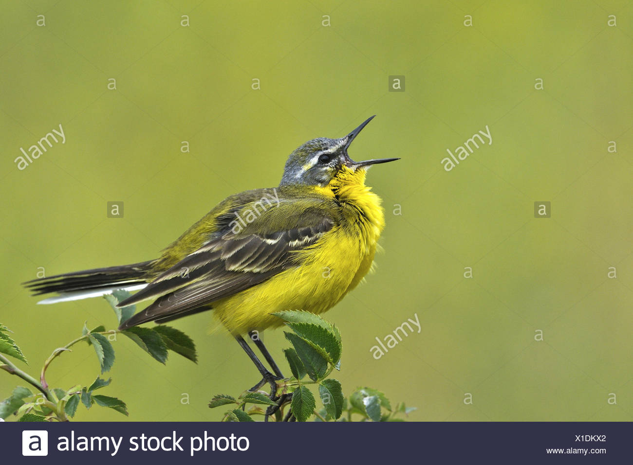 Yellow wagtail (Motacilla flava), sings, Austria, Neusiedler See National Park - Stock Image