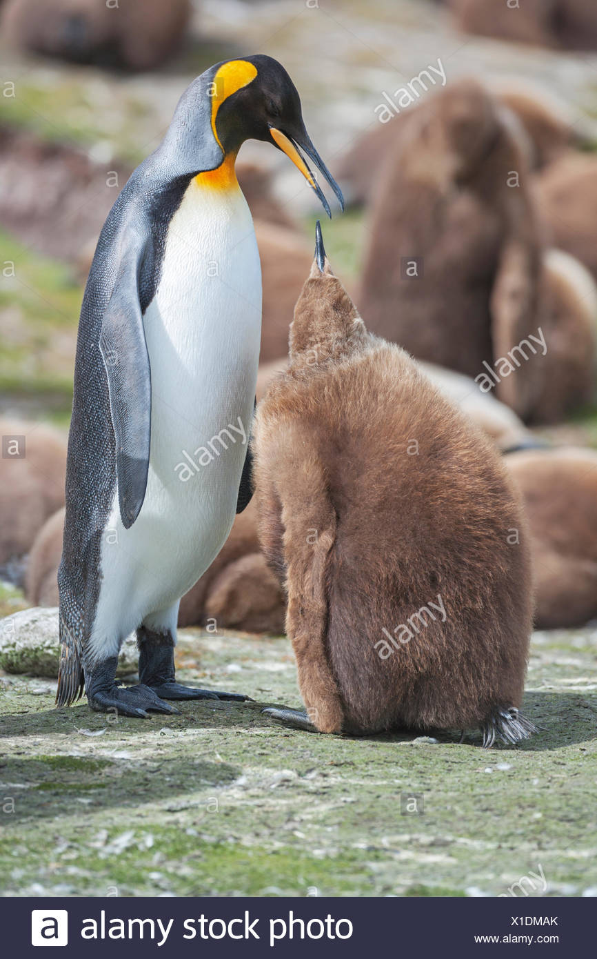 An adult King penguin (Aptenodytes patagonicus) feeding its chick, East Falkland, Falkland Islands, South Atlantic - Stock Image