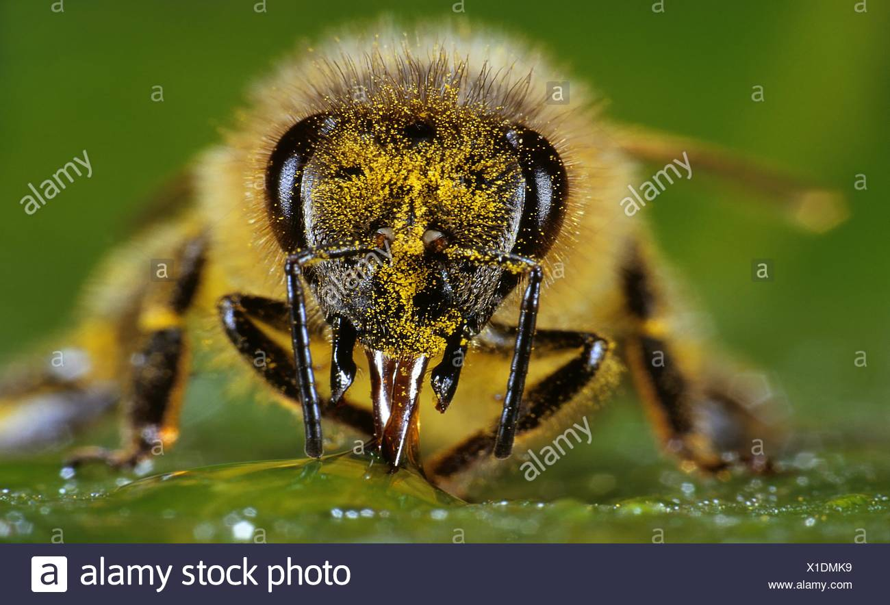 Honey bee, Apis mellifera, sucking nectar - Stock Image