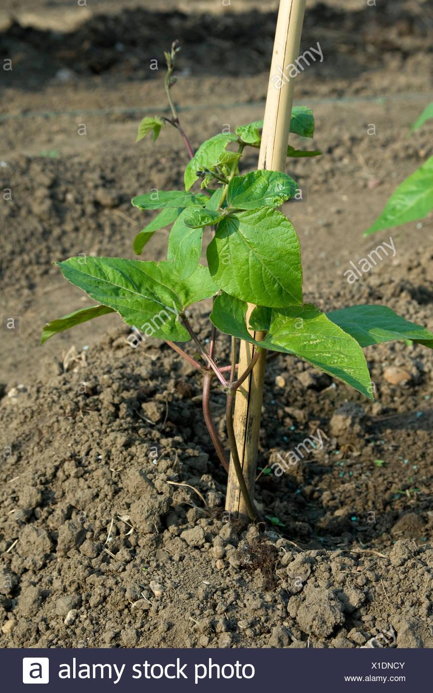 Runner bean in soil - Stock Image