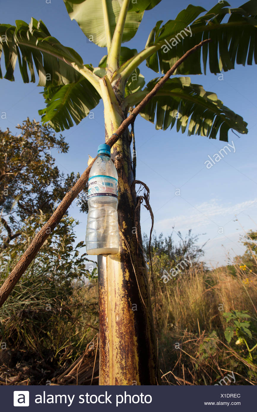 A reused plastic bottle hangs on a banana plant, providing drip irrigation. - Stock Image