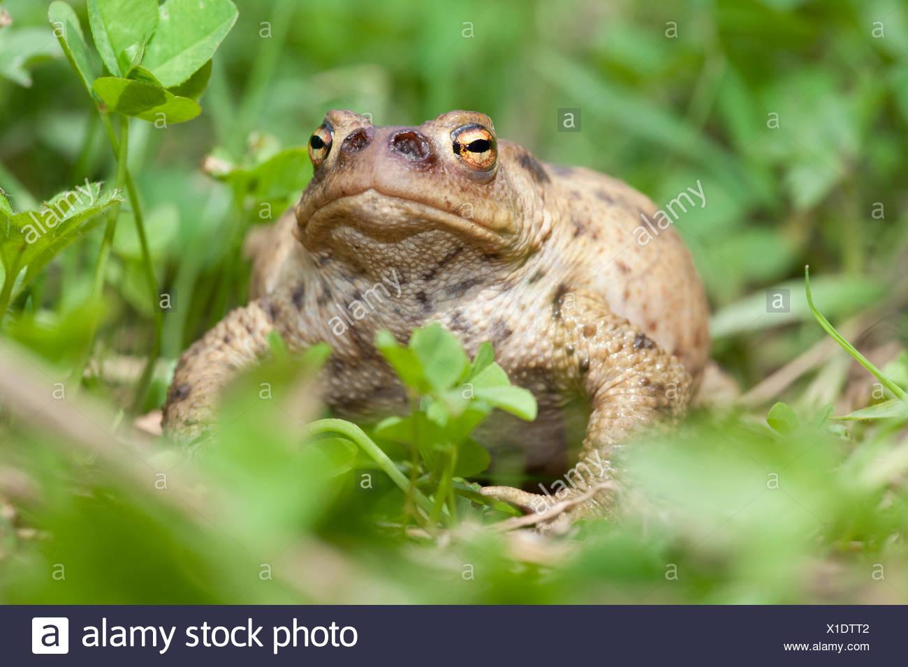 Foto van een gewone pad die geinfecteerd is met de larven van de groene paddenvlieg. Deze vlieg legt haar eitjes in de neusgaten van een pad, de larven (maden) eten dan langzaam de pad op, hier zie je dat de neusgaten al zijn uitgegeten, de pad zal aan een langzame (waarschijnlijk pijnlijke) dood sterven; Photo of a common toad that has been infected by the Lucilia bufonivora fly. This fly places her eggs in the nostril of the toad, the larvae then slowly eat the toad from the inside which finally results in death; - Stock Image