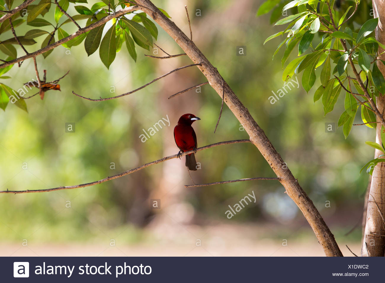 In Isla Coiba National Park,a crimson back tanager bird sits perched on a tree limb. - Stock Image