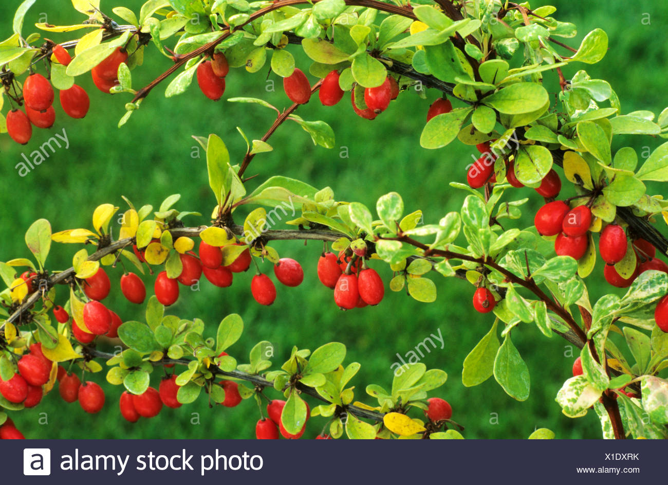 Berberis thunbergii 'Baum' barberry red berry berries fruit fruits garden plant plants barberries - Stock Image