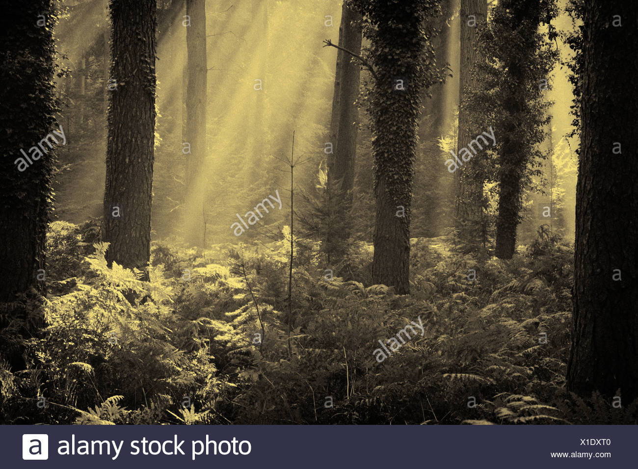 Dawn in the New Forest, Hampshire, UK - Stock Image