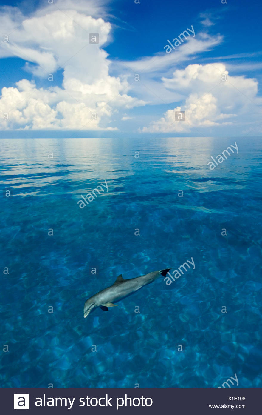 Bottlenose dolphin (Tursiops truncatus) in shallow water over a sand bank. Sandy Ridge, Little Bahama Bank, Bahamas. Tropical West Atlantic - Stock Image