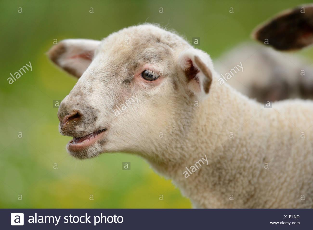 domestic sheep (Ovis ammon f. aries), bleating lamb, Germany, Bavaria - Stock Image