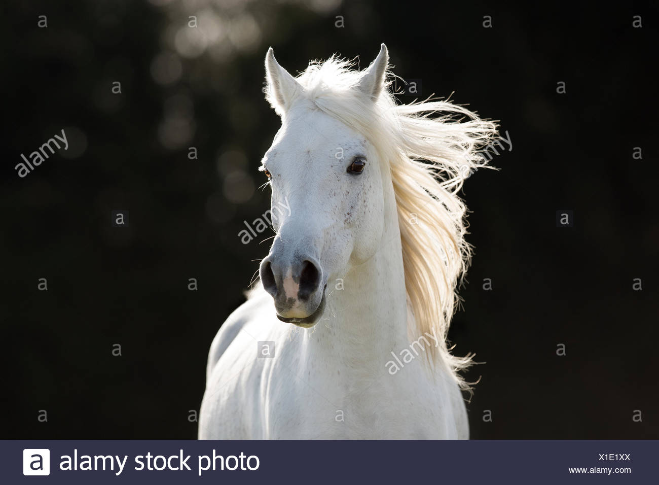 White Arabian stallion galloping, portrait - Stock Image