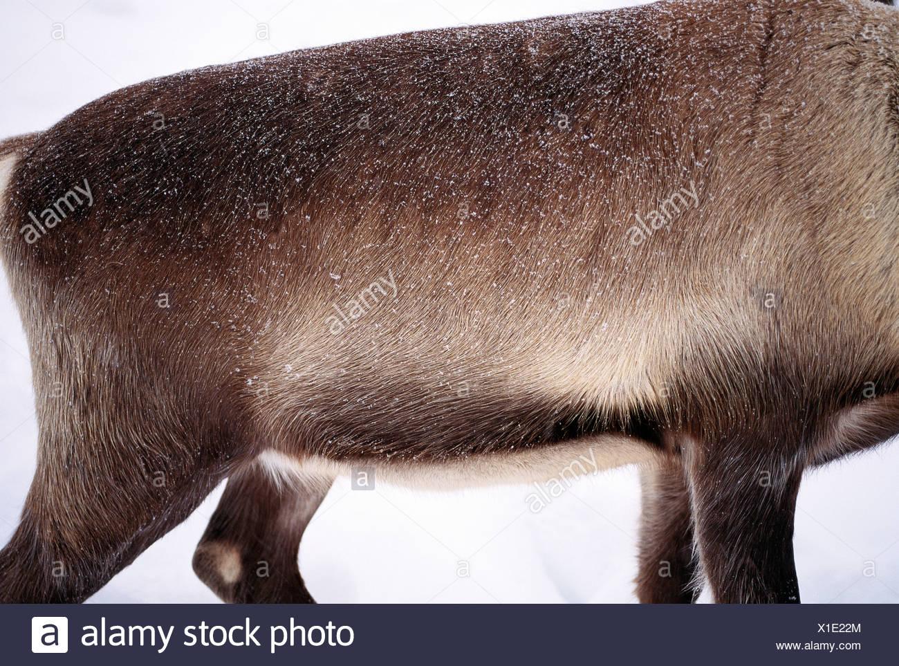 Reindeer, close-up, Sweden. - Stock Image