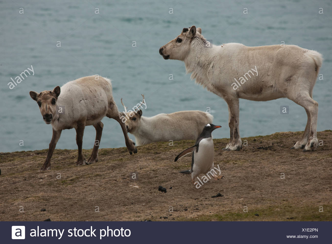 Reindeer and a gentoo penguin on the coast of South Georgia. - Stock Image