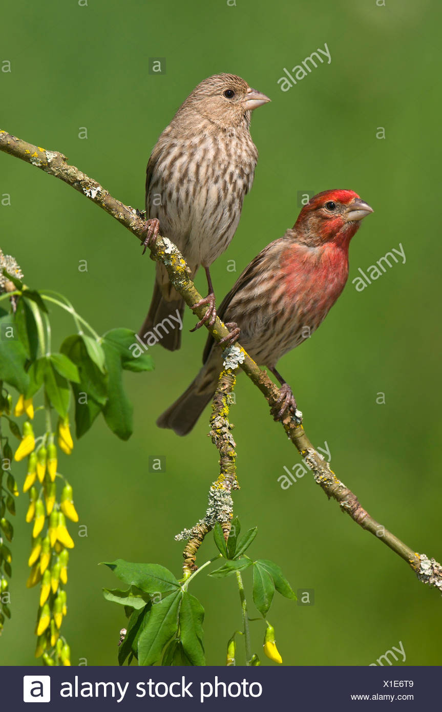 Male and female House finches (Carpodacus mexicanus) on plum blossoms at Victoria, Vancouver Island, British Columbia, Canada - Stock Image