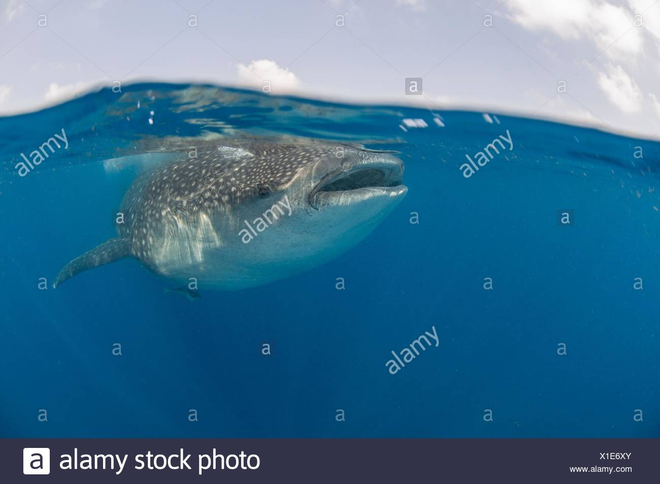 Underwater view of giant whale shark feeding on fish eggs, Contoy Island, Quintana Roo, Mexico - Stock Image