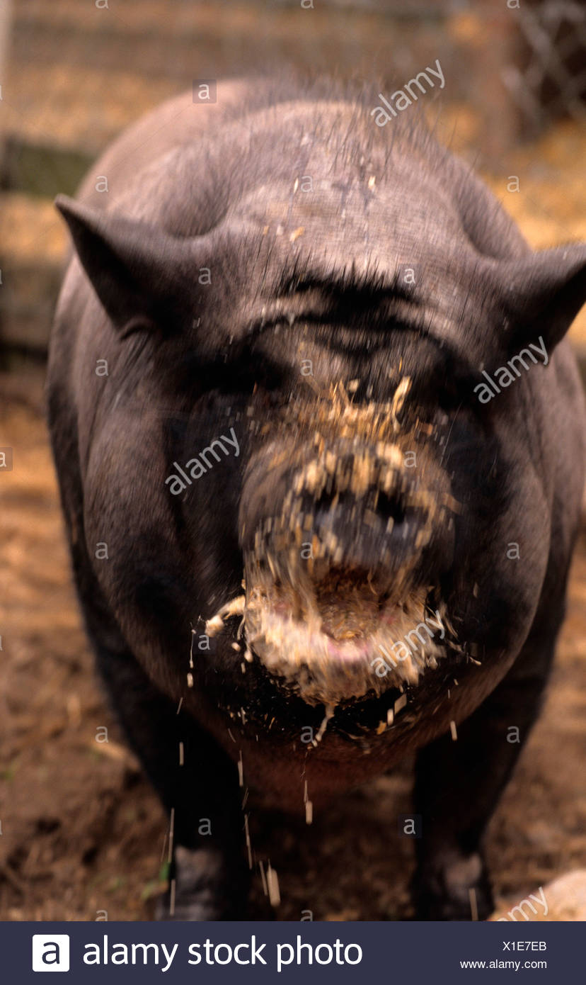 Close-up of a wild boar (Sus scrofa) eating food Stock Photo