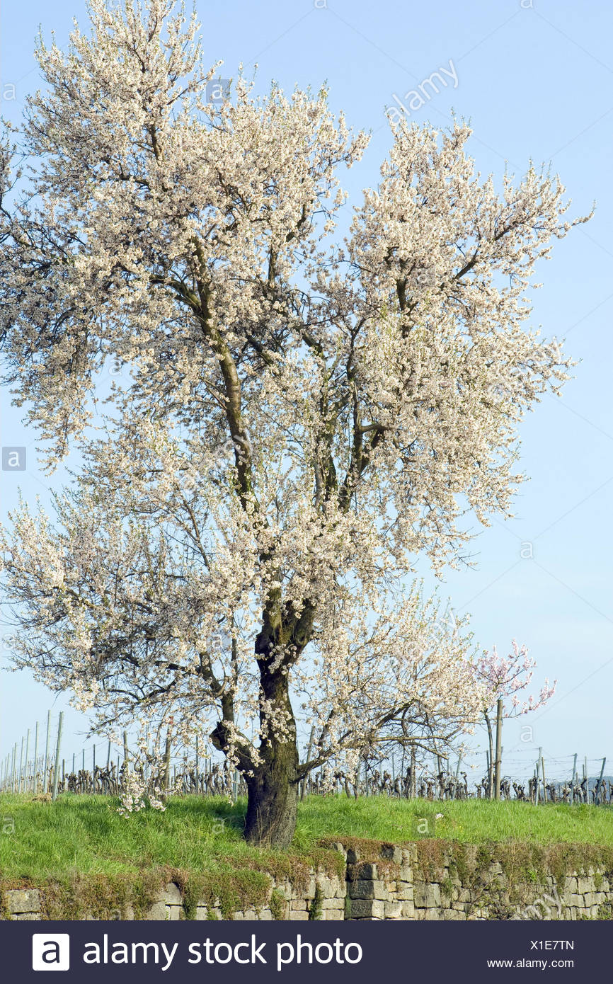 Almond tree, blossom, white, Stone wall, tree, tonsil blossom, blossoms, defensive wall, grass, spring, period of bloom, heaven, blue, Weinstrasse, Germany, Rhineland-Palatinate, Gimmeldingen, - Stock Image