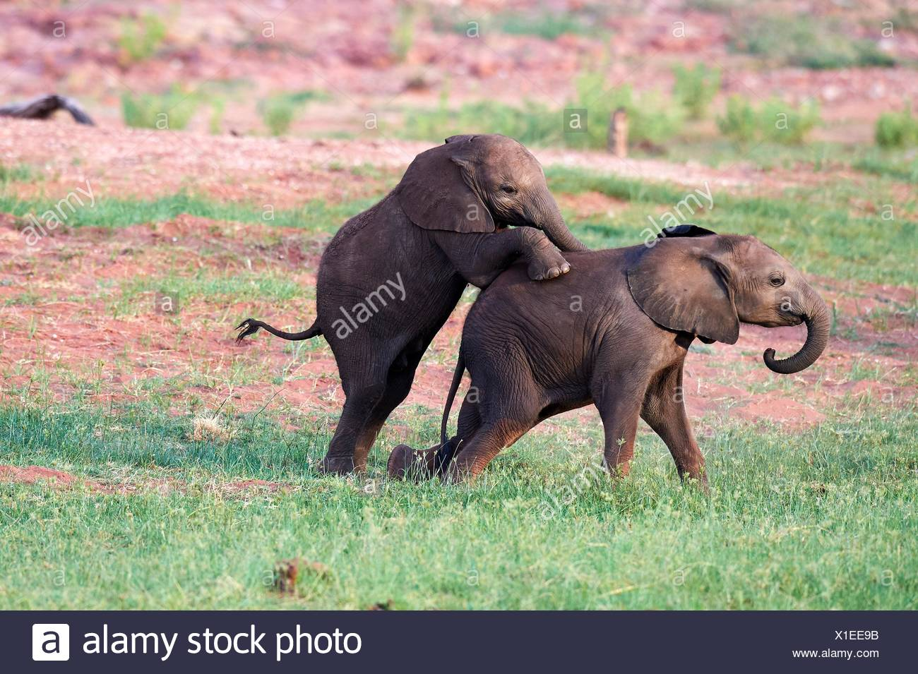 African elephant, calves of different ages playing (Loxodonta africana), Matusadona National Park, Zimbabwe. - Stock Image