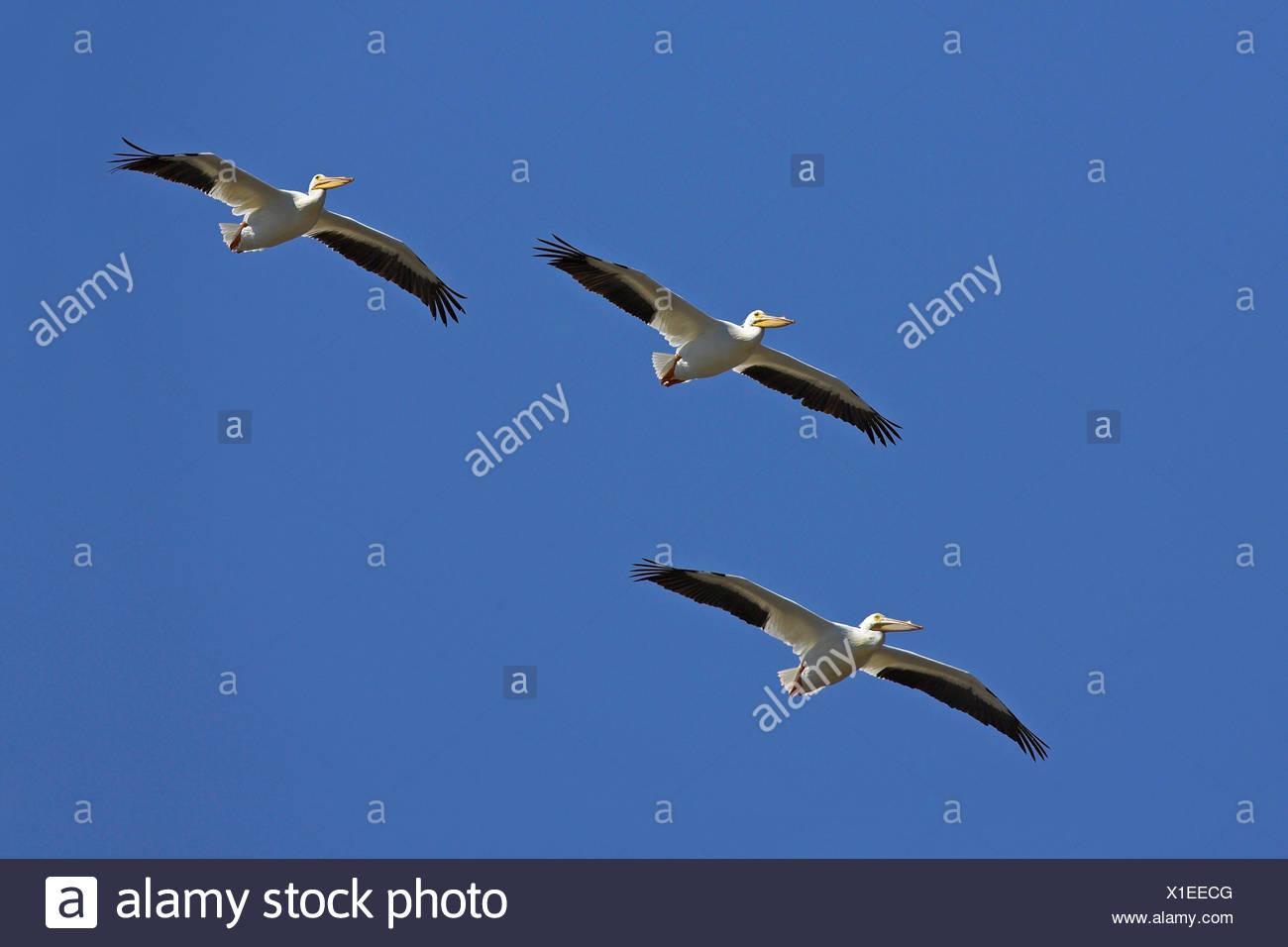 American white pelican (Pelecanus erythrorhynchos), flying troop, USA, Florida, Sanibel Island Stock Photo