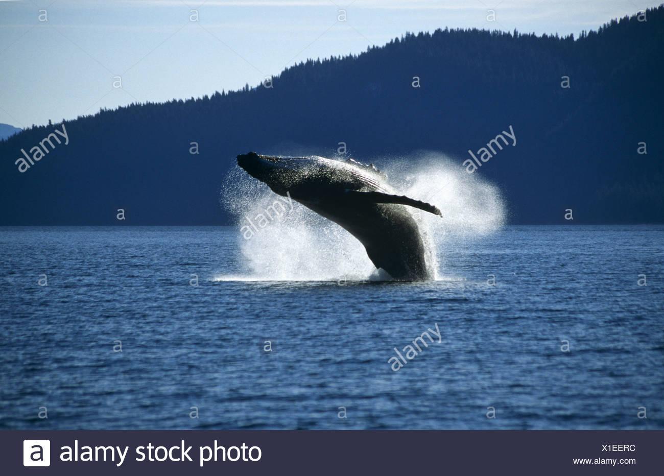 Humpback Whale breaching, Tenakee Inlet, Southeast. Alaska - Stock Image