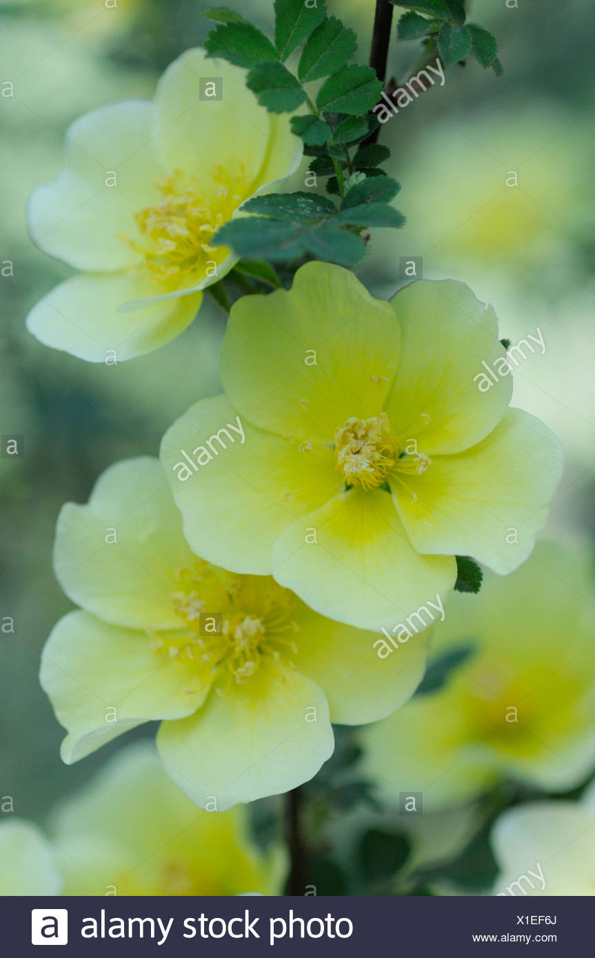 Rosa canary bird rose yellow flowers on shrub stock photo rosa canary bird rose yellow flowers on shrub mightylinksfo