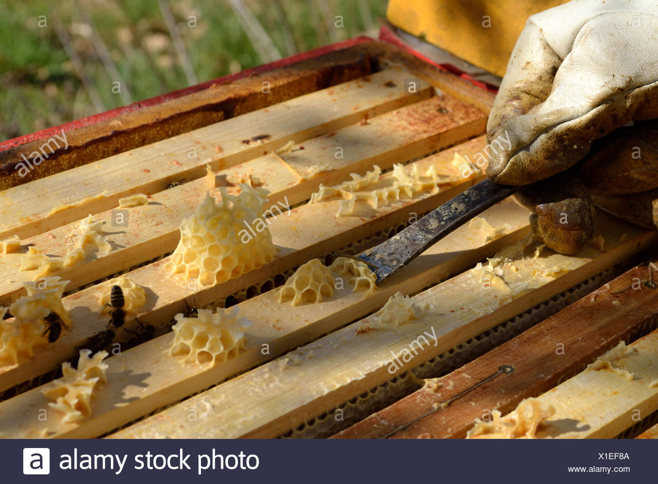 Beekeeper scrapes beeswax from honeycomb - Stock Image
