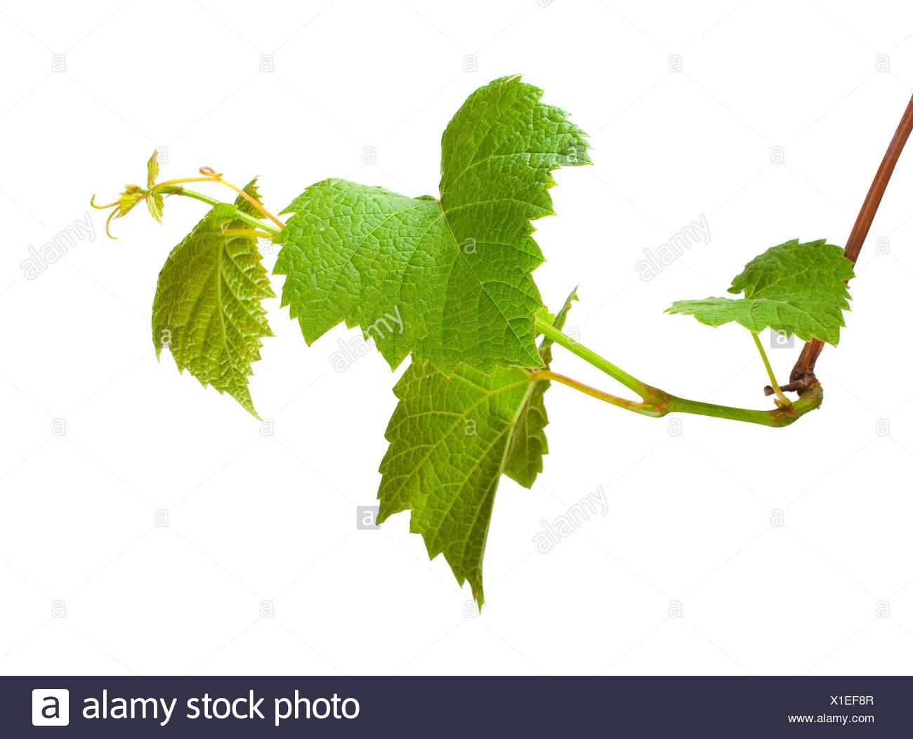 green grape germ - Stock Image