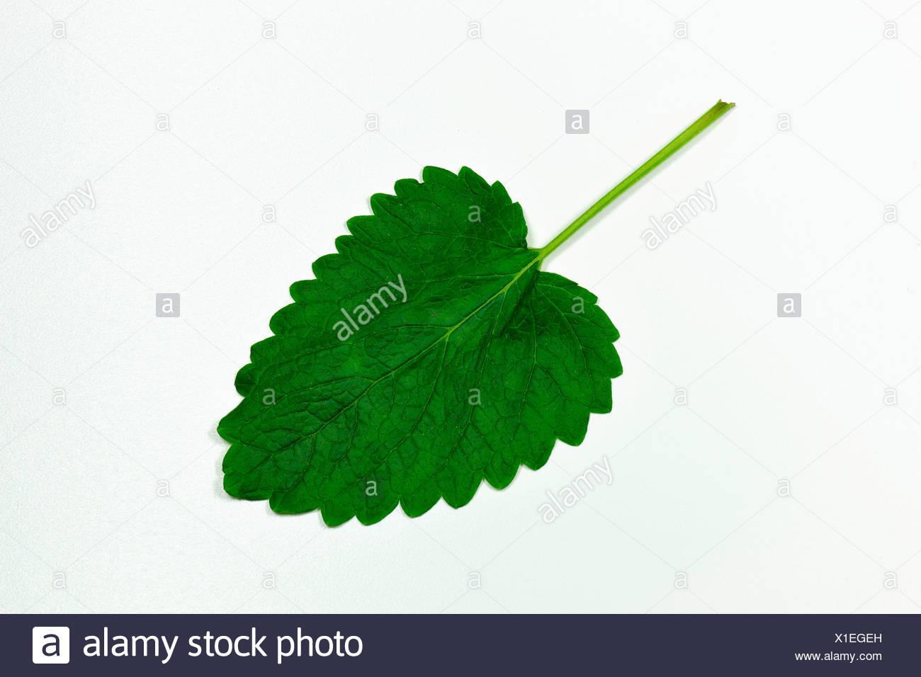 Leaf of lemon balm Stock Photo