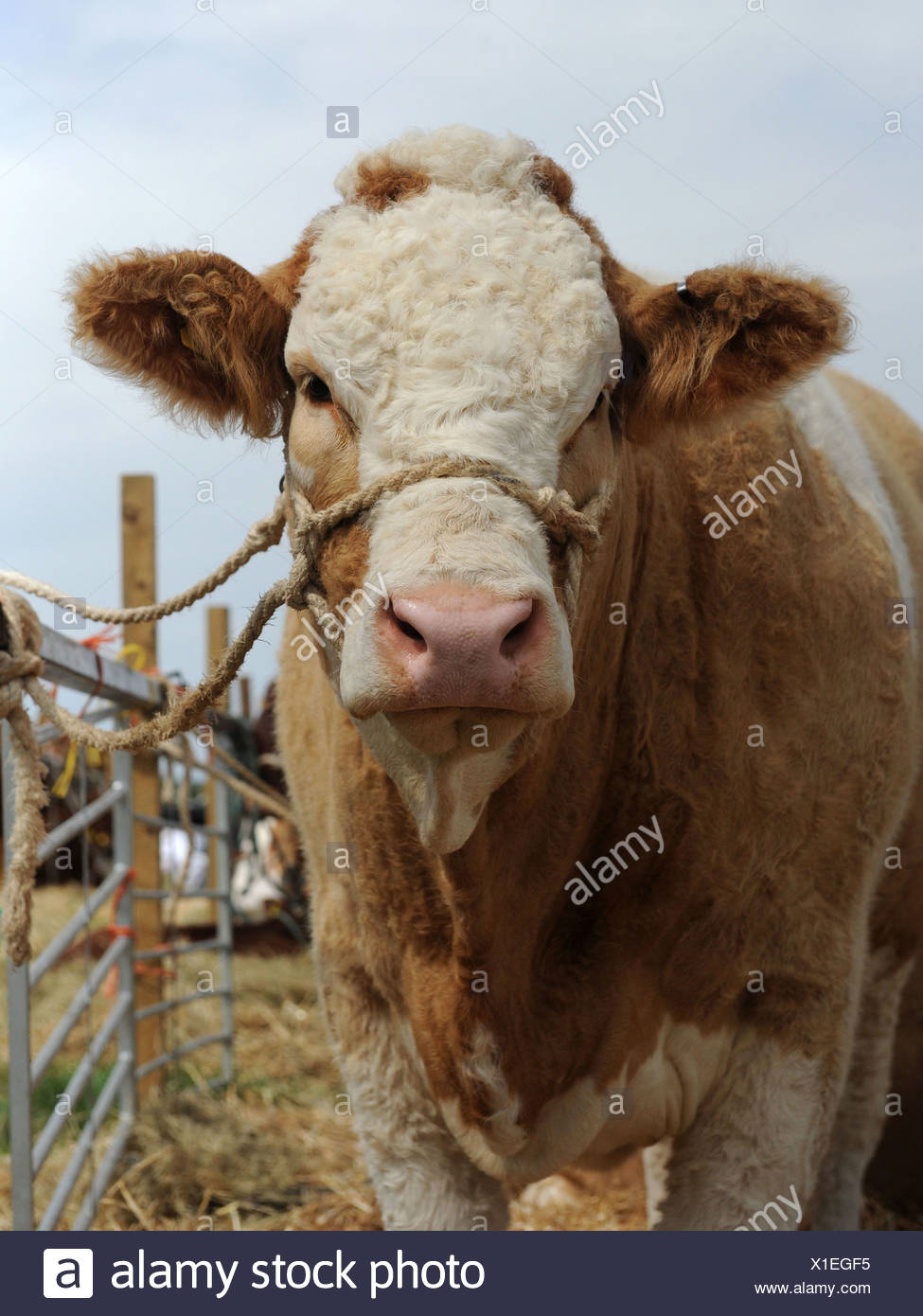 A brown and white bull wearing a harness - Stock Image