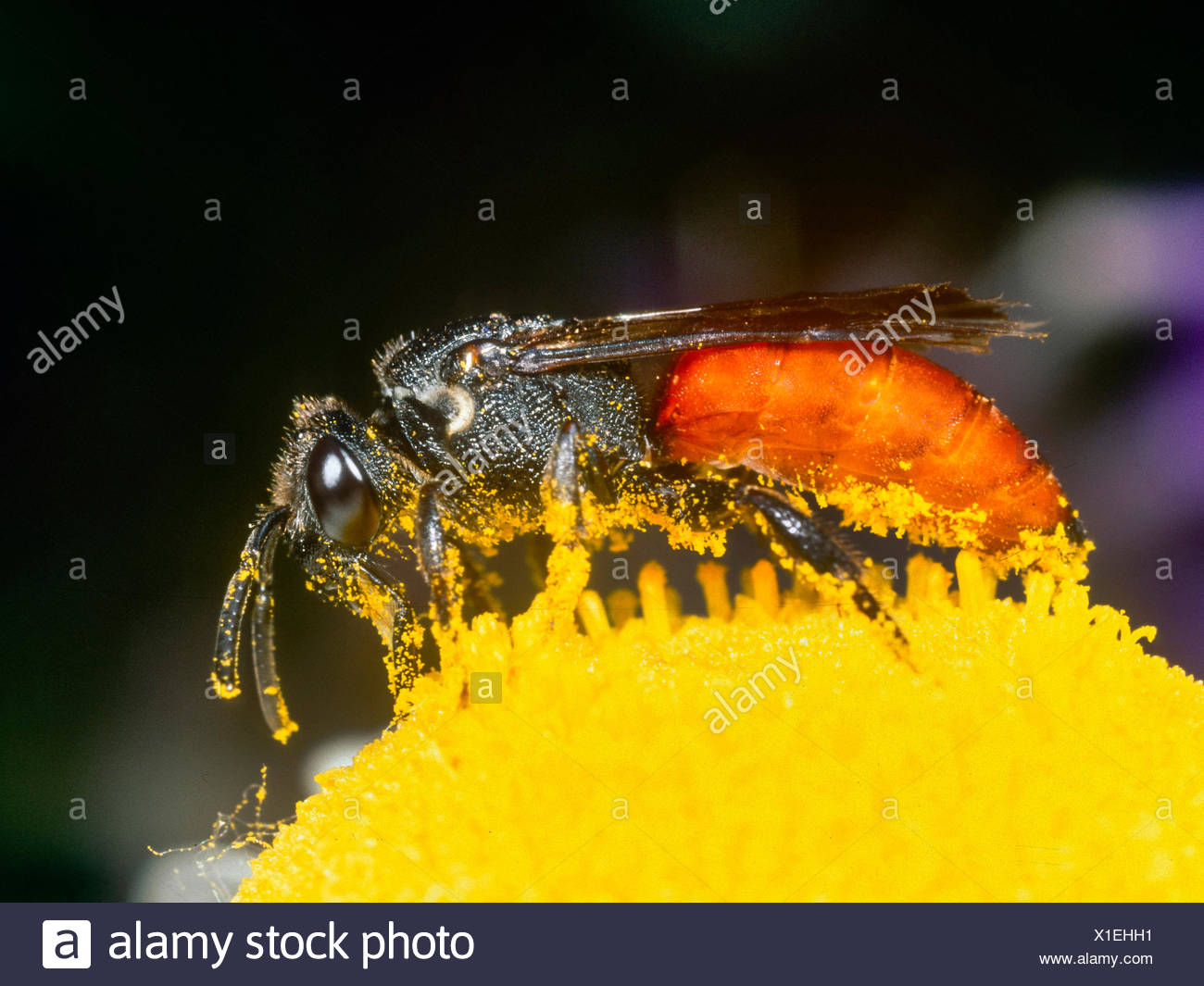 Grosse Blutbiene, Grosse Blut-Biene (Sphecodes albilabris), Weibchen bei der Nektaraufnahme auf Margerite (Leucanthemum vulgare) - Stock Image