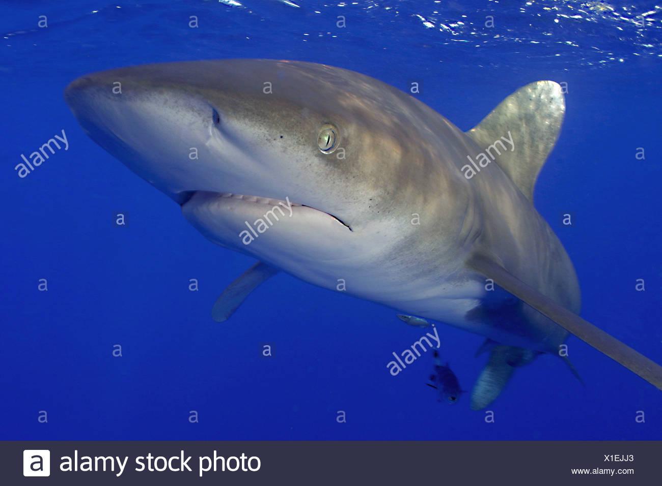 OCEANIC WHITE TIP SHARK CARCHARHINUS LONGIMANUS - Stock Image
