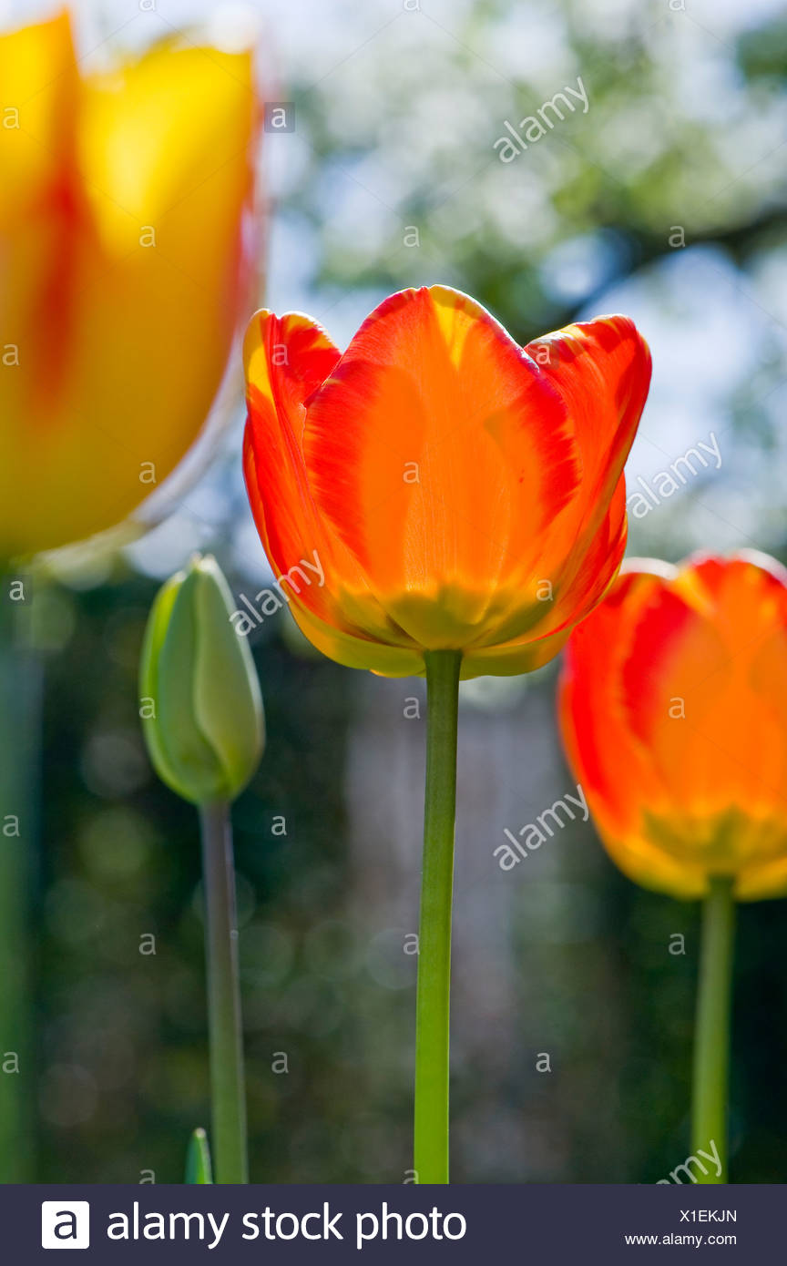 Close-up of three tulips against blurred background - Stock Image