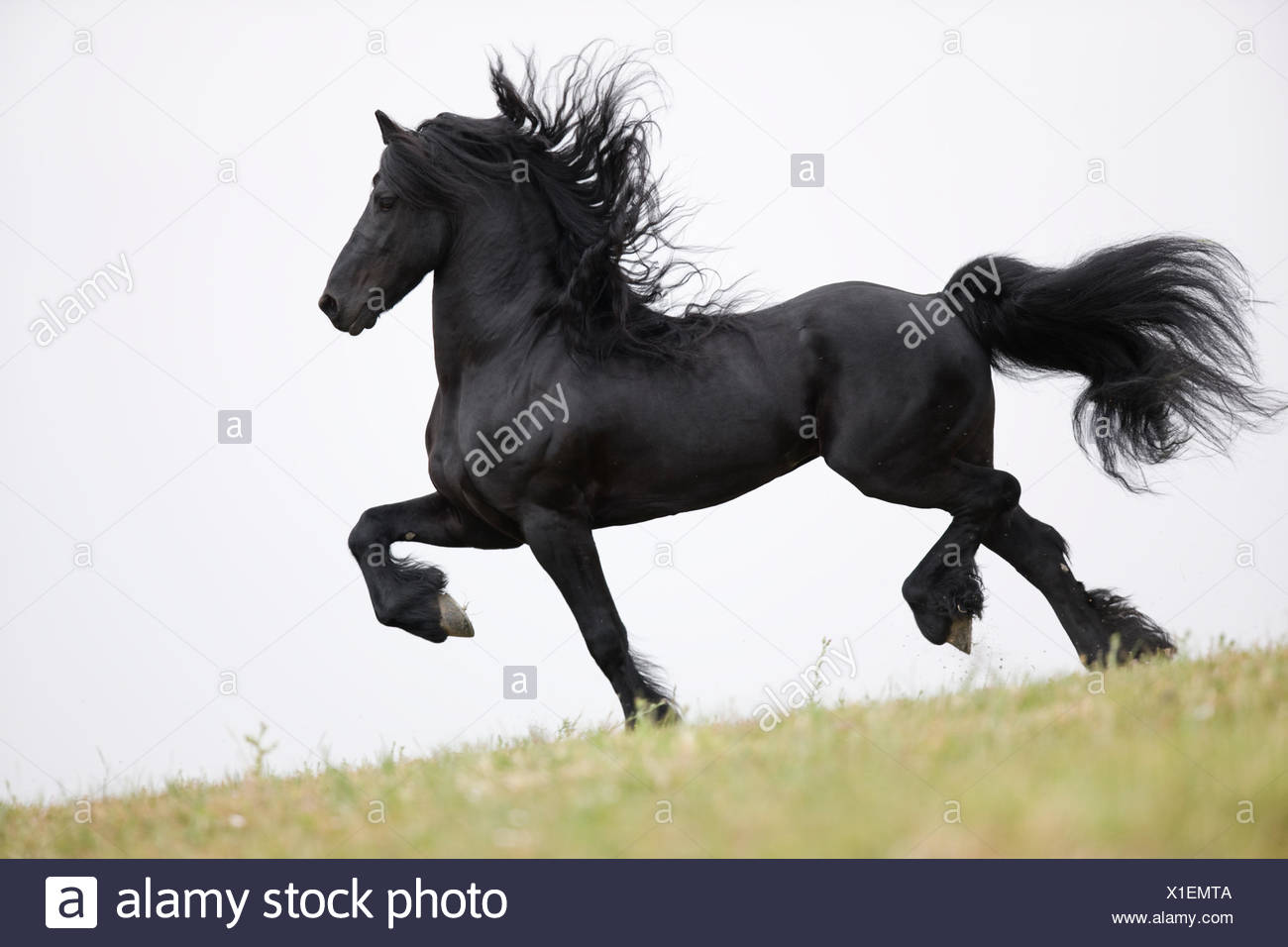 Purebred black Friesian stallion doing passage, Ojai, California, USA, - Stock Image