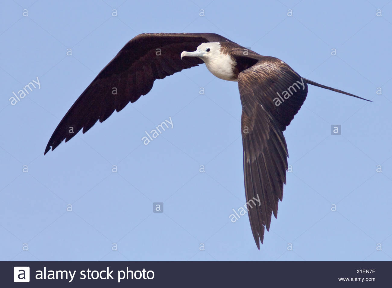 Magnificent Frigatebird (Fregata magnificens) flying and searching for food along the coast of Ecuador. Stock Photo