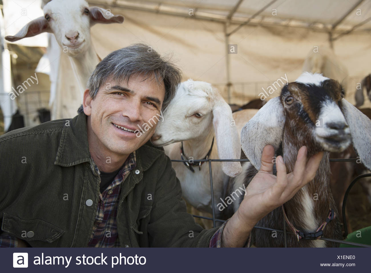 A man with a group of goats in a pen Livestock farming Goats kept for meat and milk - Stock Image