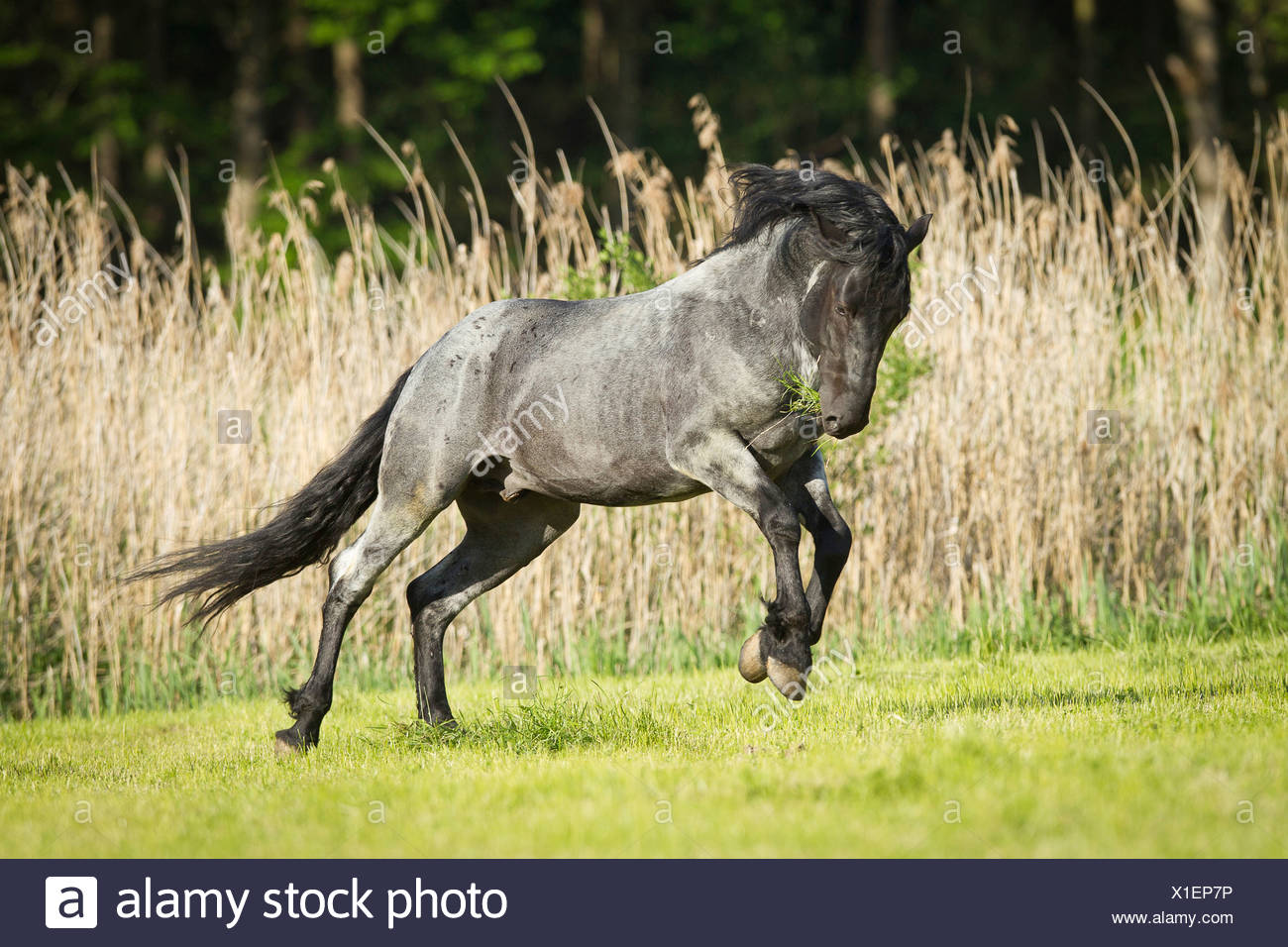 Blue Roan Horse High Resolution Stock Photography And Images Alamy