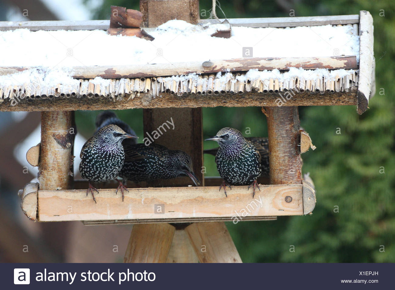 Glaucomas, aviary, landscape format, birds, songbirds, sparrow's birds, Sturnidae, wild animals, animals, winters, Germany, lining, lining space, lining house, - Stock Image