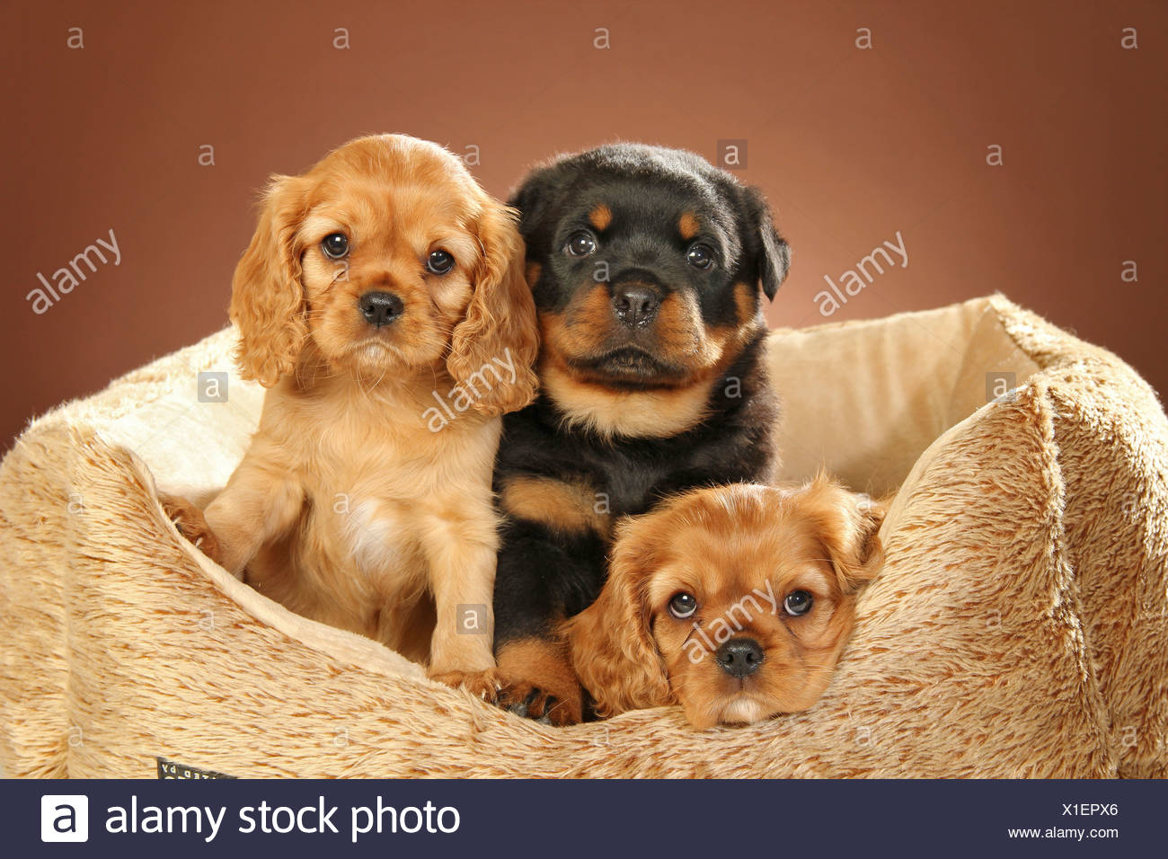 Cavalier King Charles Spaniel Puppies Stock Photos