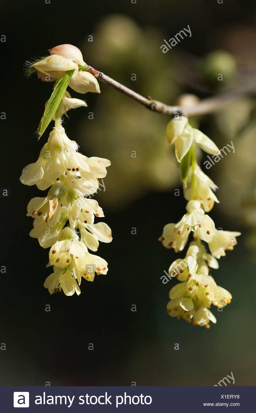 Pendants Of Pale Yellow Bell Shaped Flowers Of Fragrant Winter Hazel
