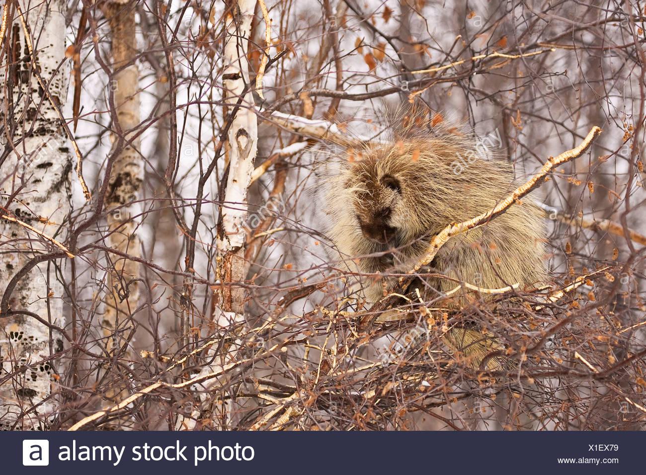North American Porcupine (Erethizon dorsatum) sleeping in tree in Elk Island National Park, Alberta, Canada. Stock Photo