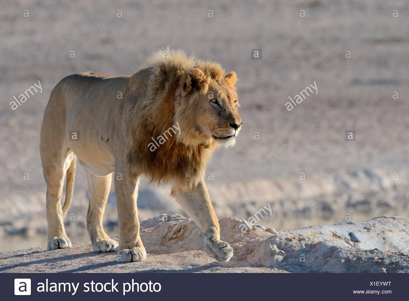 African lion (Panthera leo) with tracking collar, walking, Etosha Nationalpark, Namibia - Stock Image
