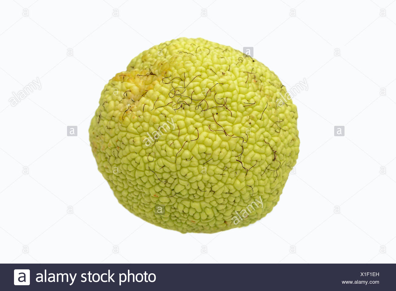Osage Orange, Hedge Apple, Bodark or Bodock (Maclura pomifera), fruit, native to the southern U.S. - Stock Image