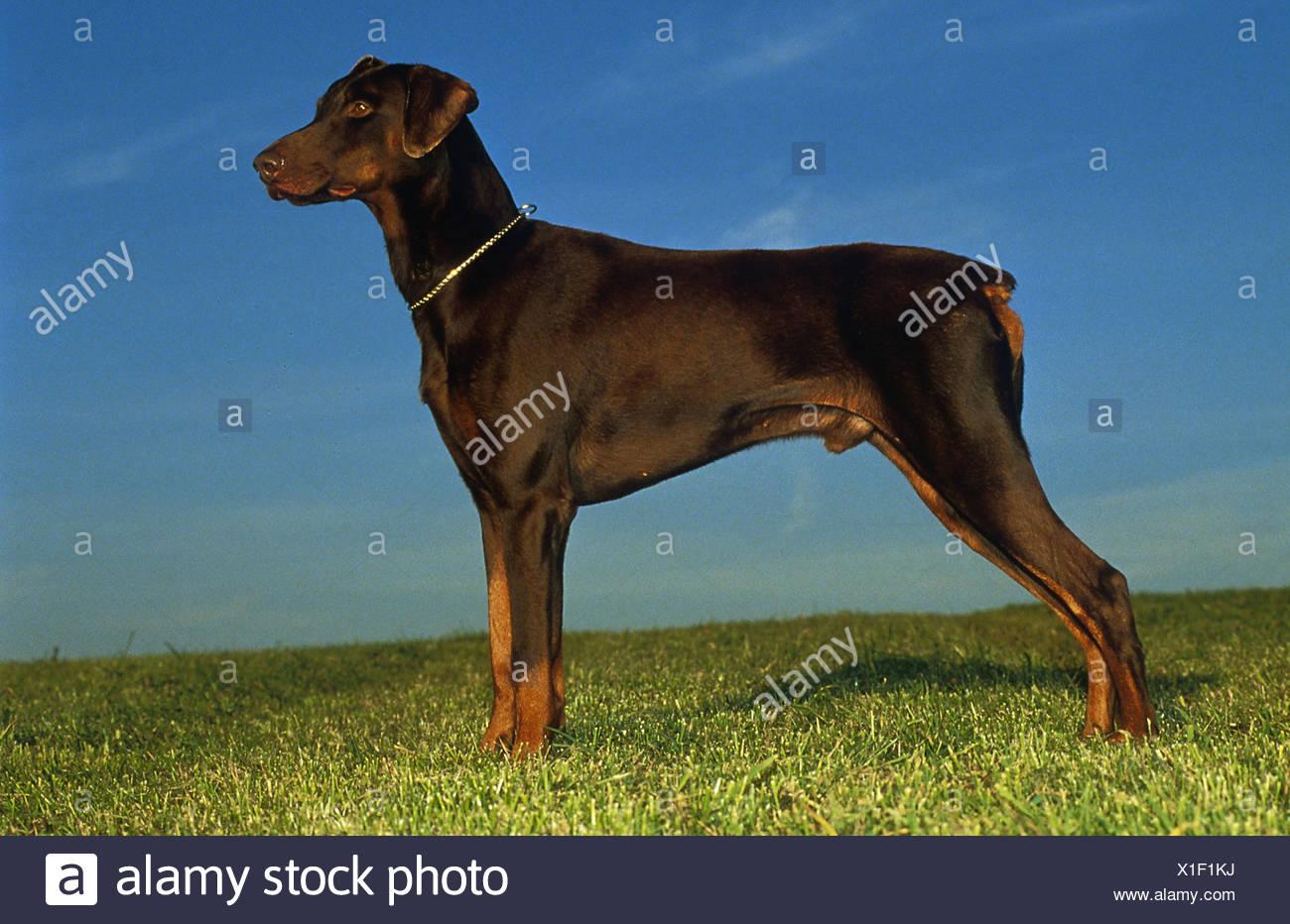 Dobermann - braun - seitlich stehend auf Wiese - Stock Image