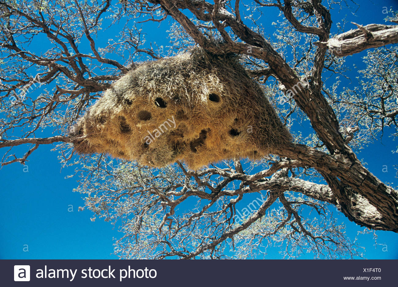 Nest of weaver bird - Stock Image