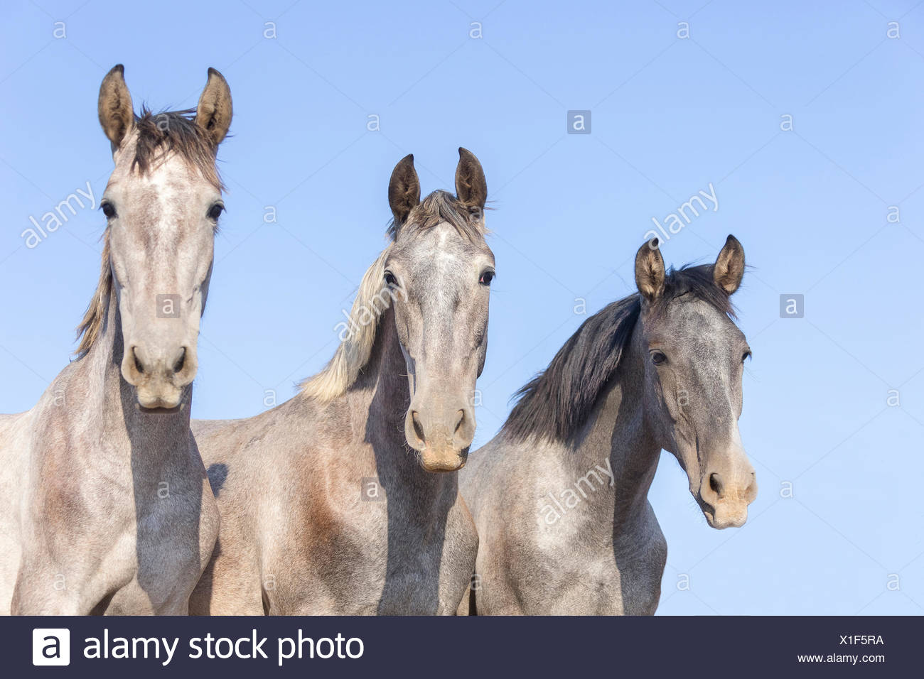 Pure Spanish Horse, Andalusian. Portrait of three juvenile stallions on a pasture. Spain - Stock Image