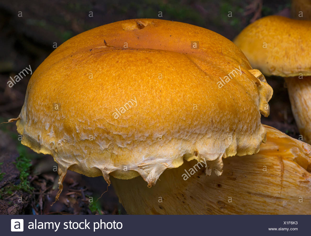 Gymnopilus spectabilis mushroom group - Beaver Lake, Victoria BC - Stock Image