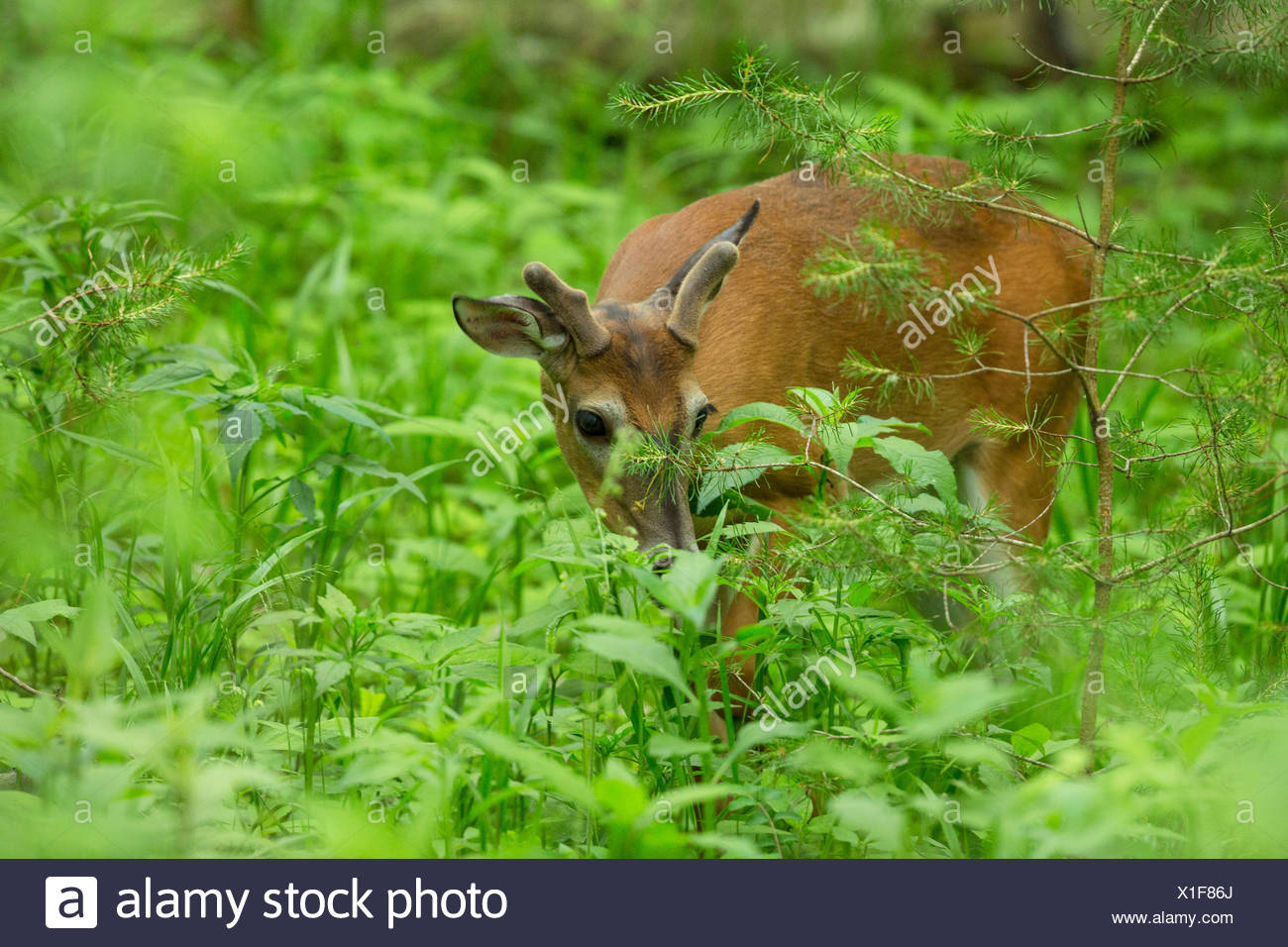 White-tailed deer (Odocoileus virginianus), browsing between herbaceous perennials, USA, Tennessee, Great Smoky Mountains National Park - Stock Image