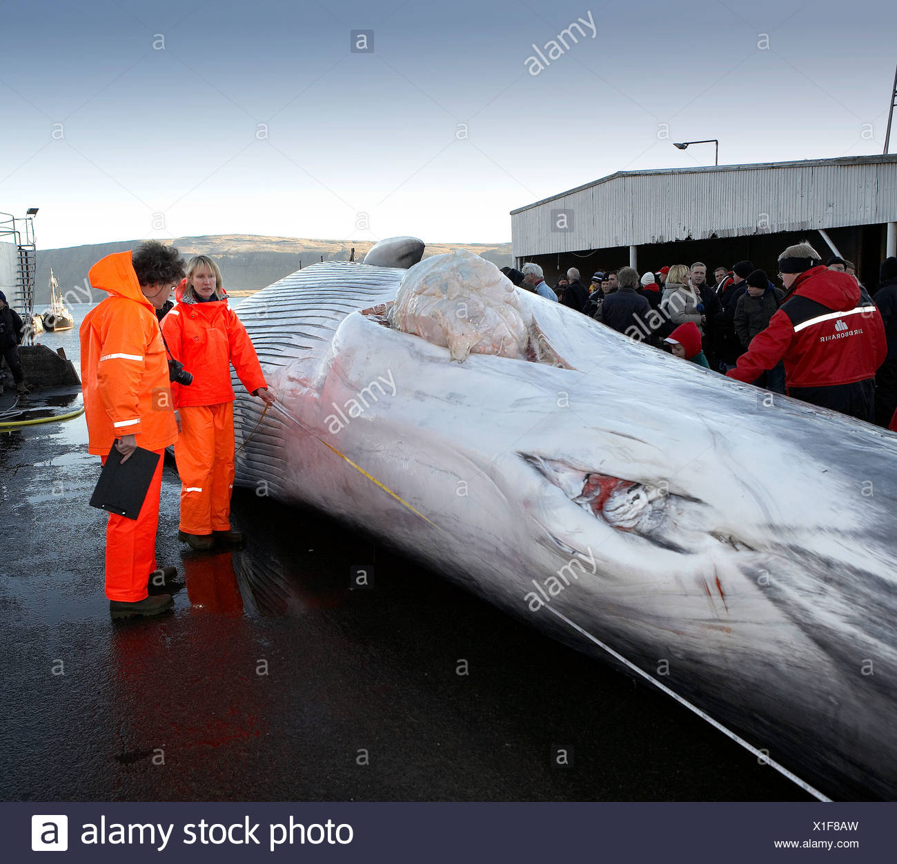 Researchers with Fin Whale showing Genitalia, Hvalfjordur, Iceland - Stock Image