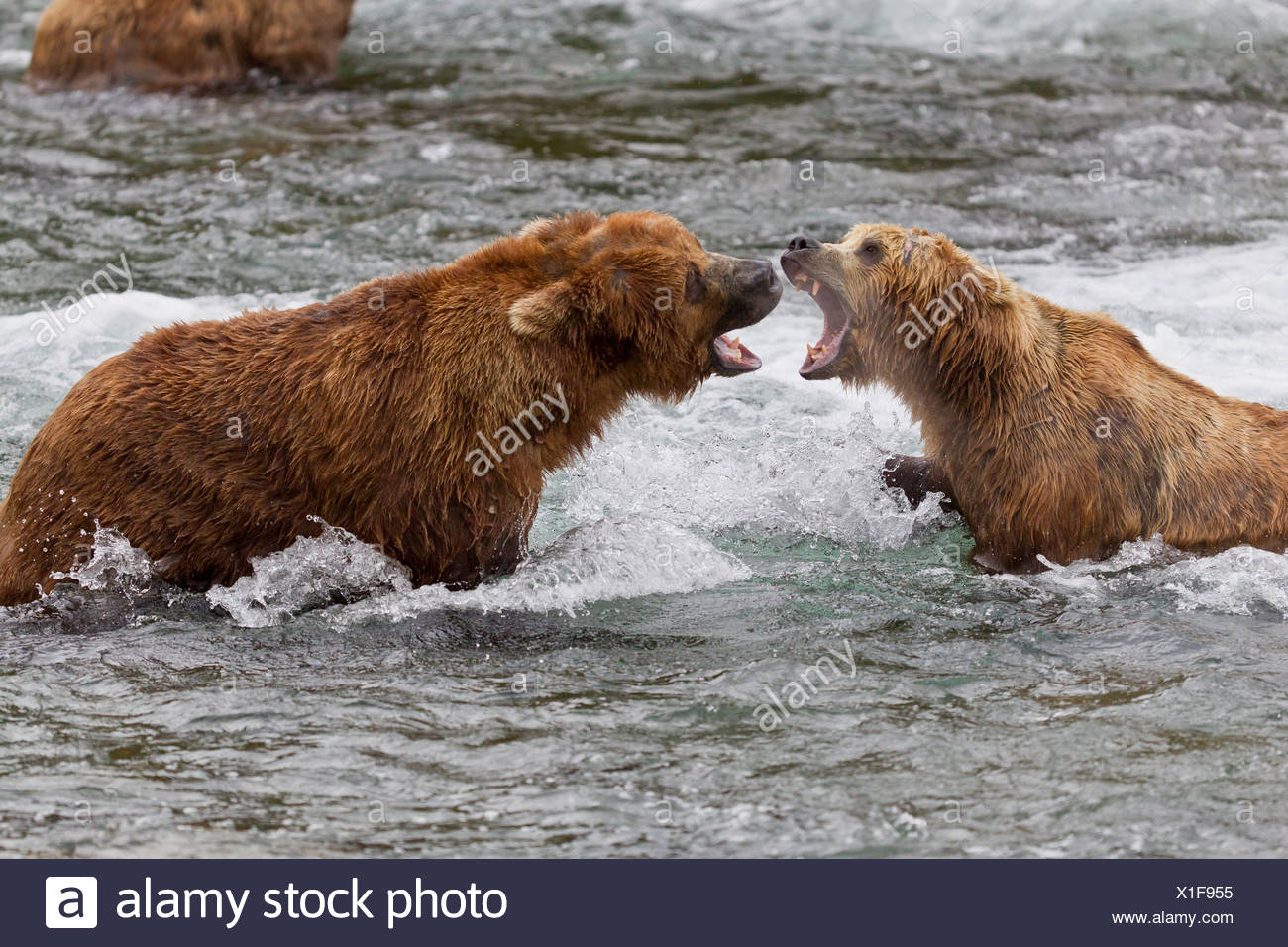 Two Brown Bear males fight in the water near Brooks Falls, Brooks Camp, Katmai National Park, Southwest, Alaska, Summer - Stock Image